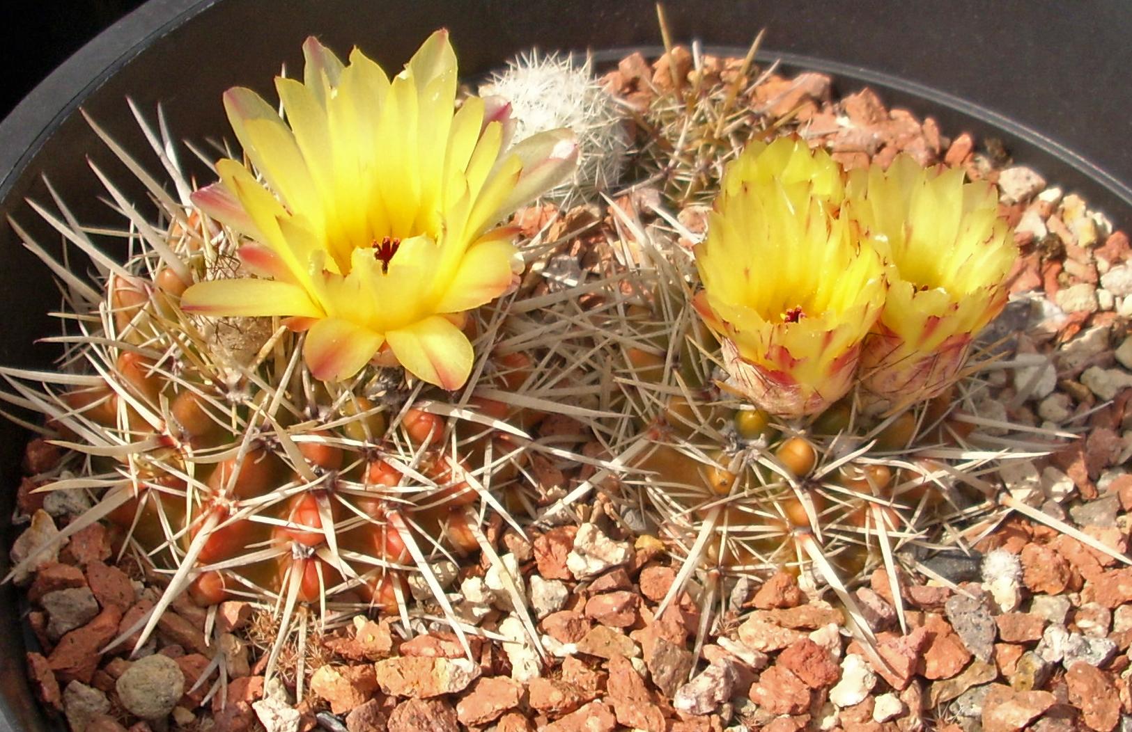 Notocactus sierragrandensis