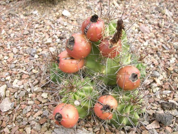 Echinocereus coccineus v paucispinus