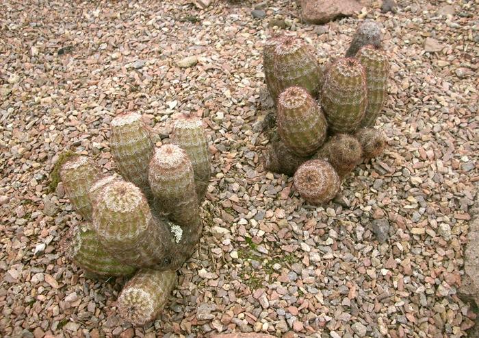 Echinocereus-caespitosus