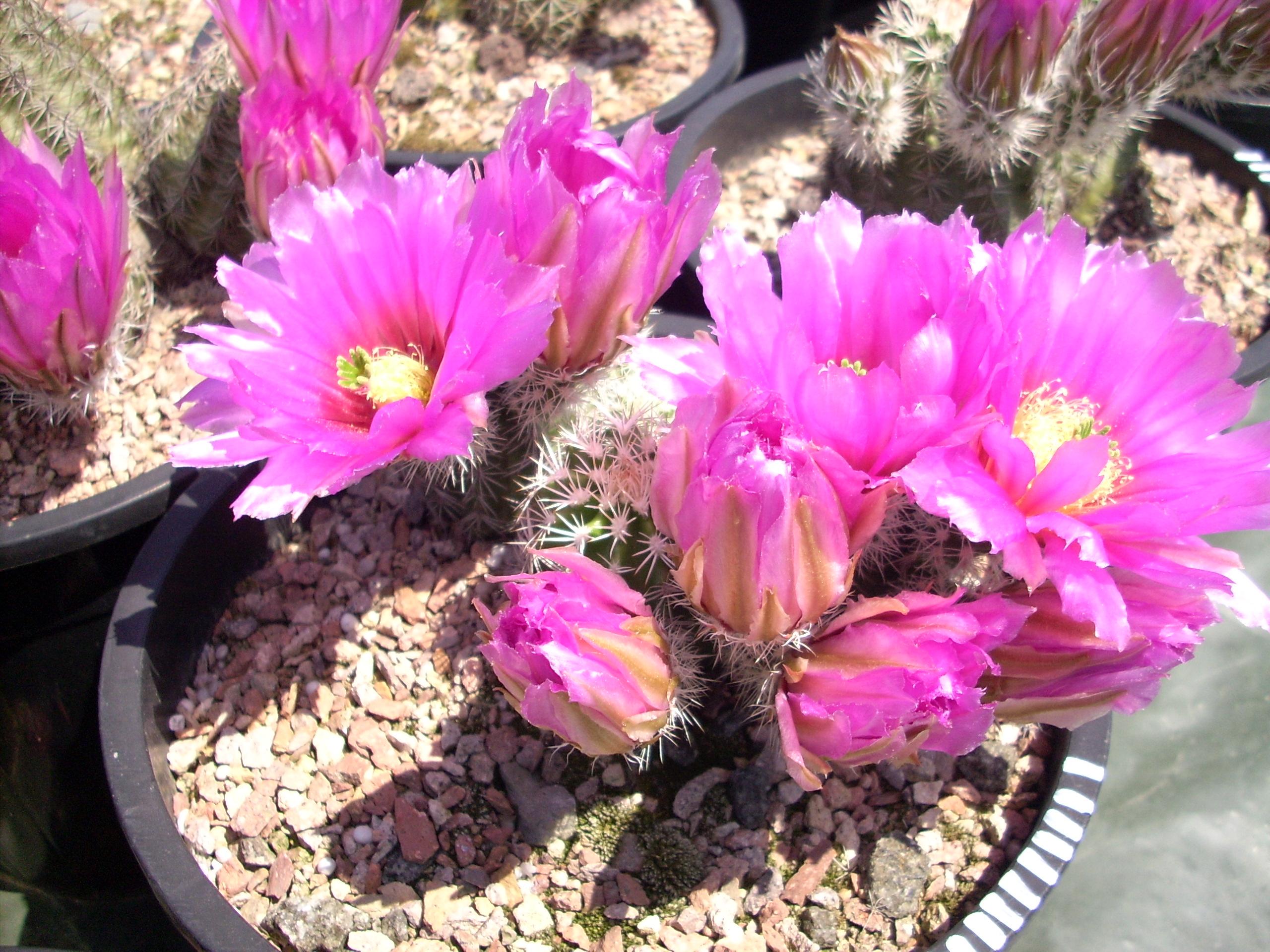 Echinocereus fendleri Hybride