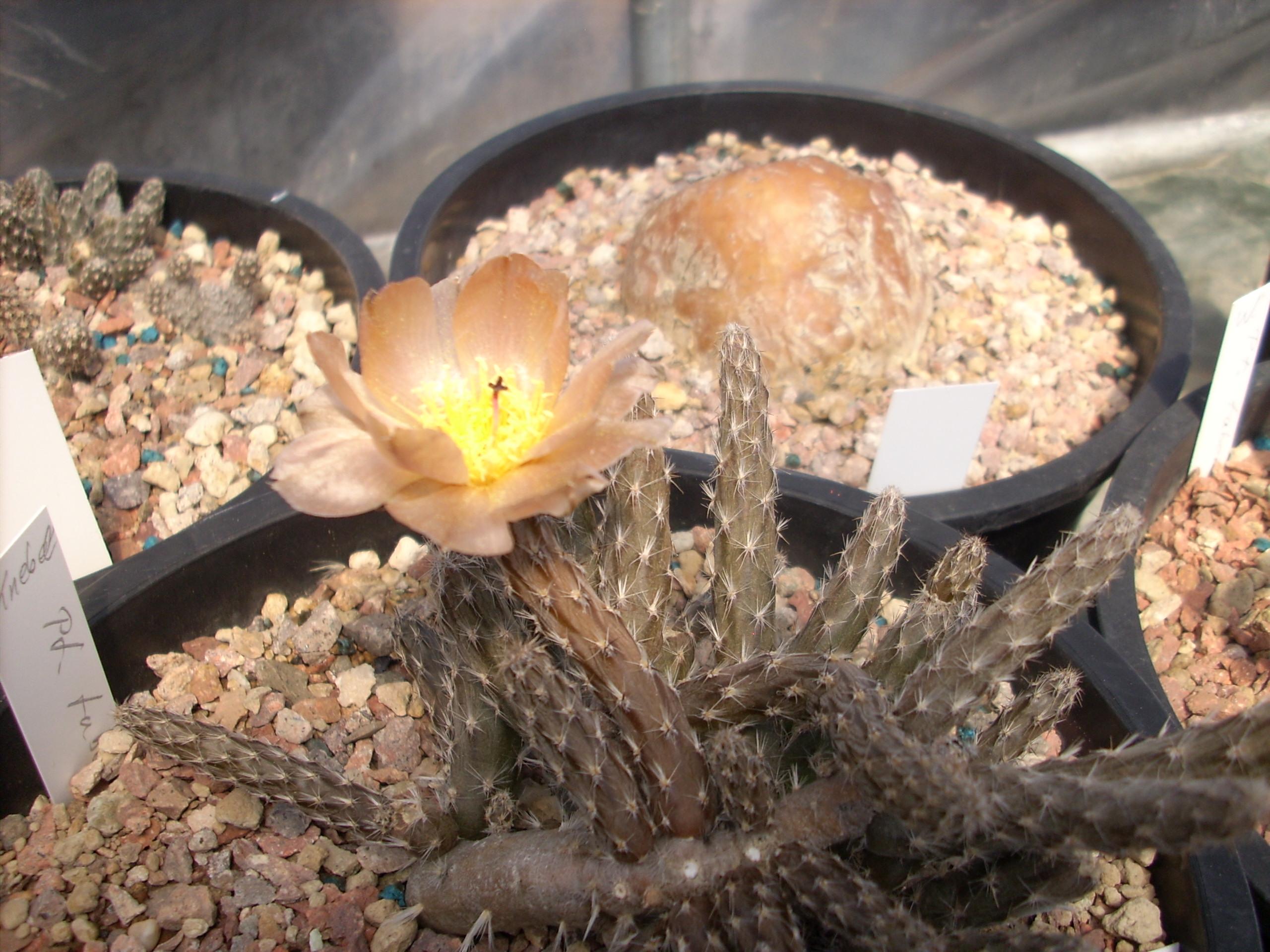 Pterocactus tuberosus