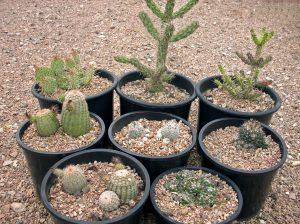 Kakteensortimente, Pediocactus, Yucca, Sempervivum